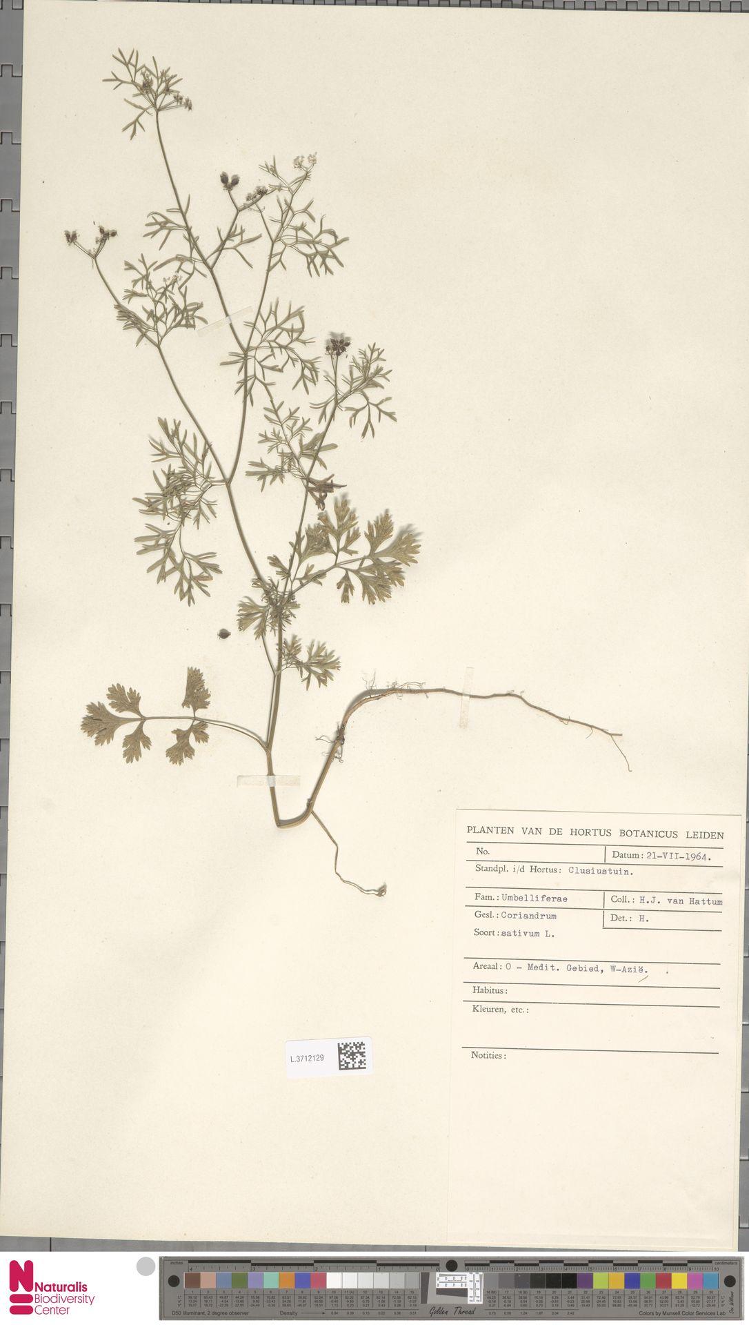 L.3712129 | Coriandrum sativum L.