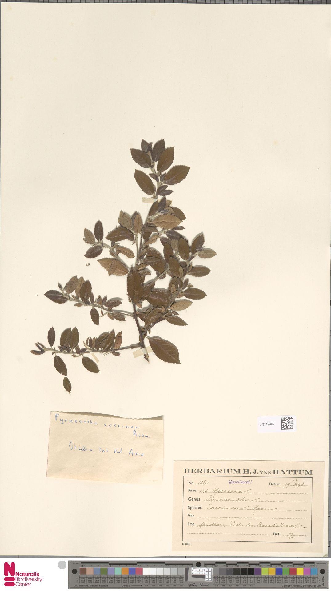 L.3712467 | Pyracantha coccinea M.Roem.