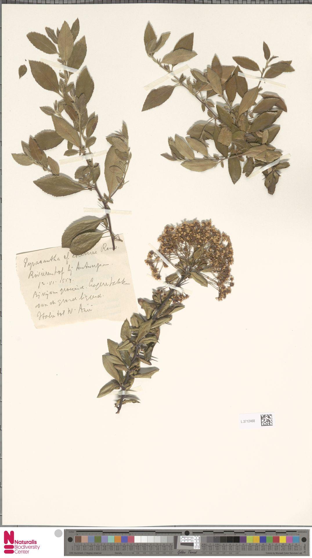 L.3712468 | Pyracantha coccinea M.Roem.