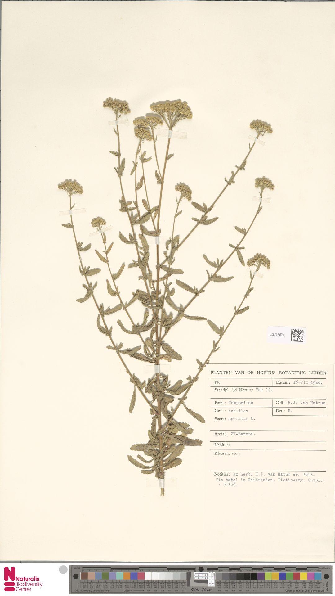 L.3713676   Achillea ageratum L.