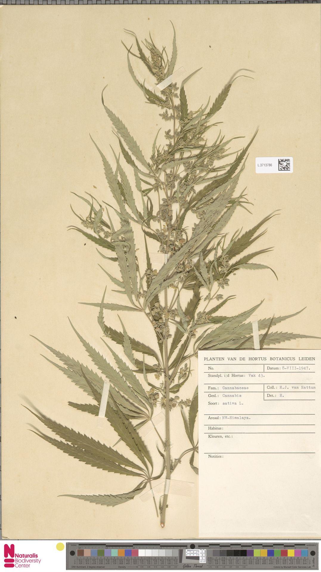 L.3713786 | Cannabis sativa L.