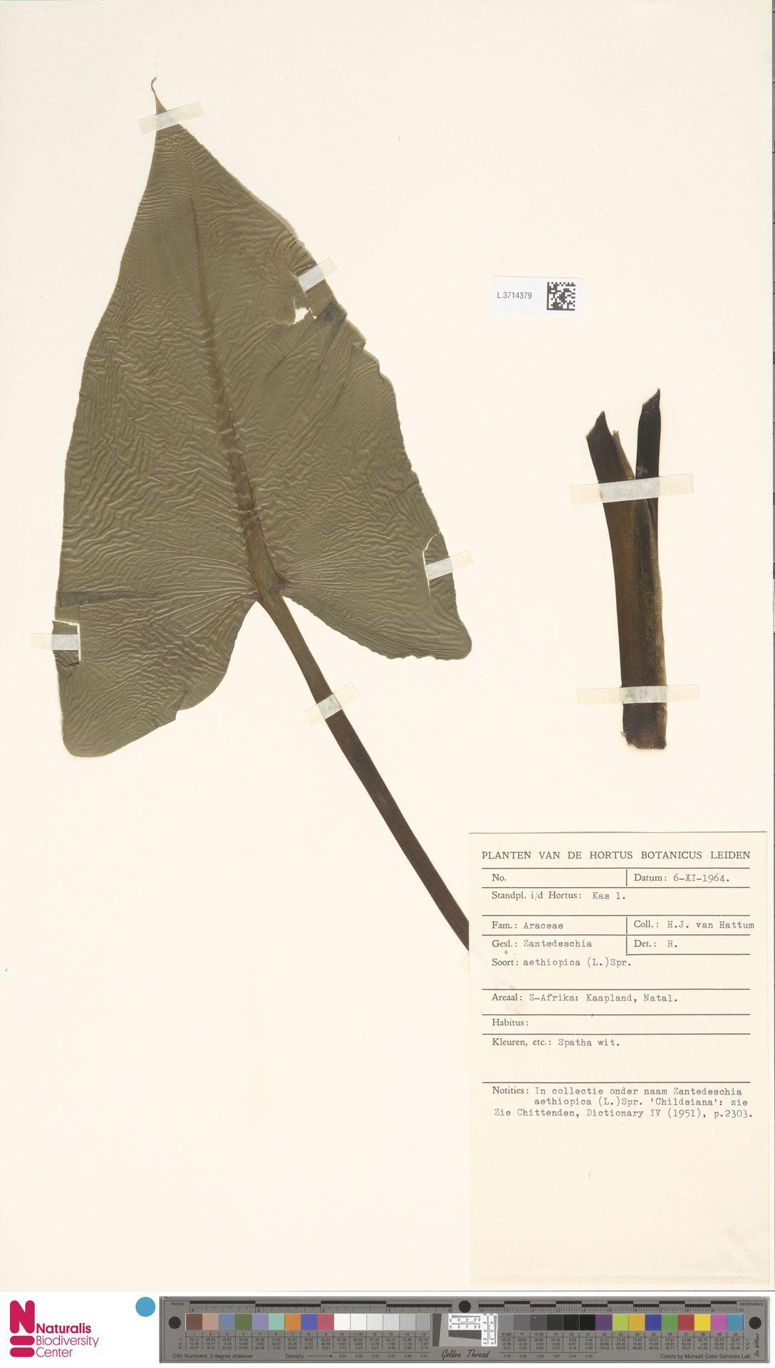 L.3714379 | Zantedeschia aethiopica (L.) Spreng.