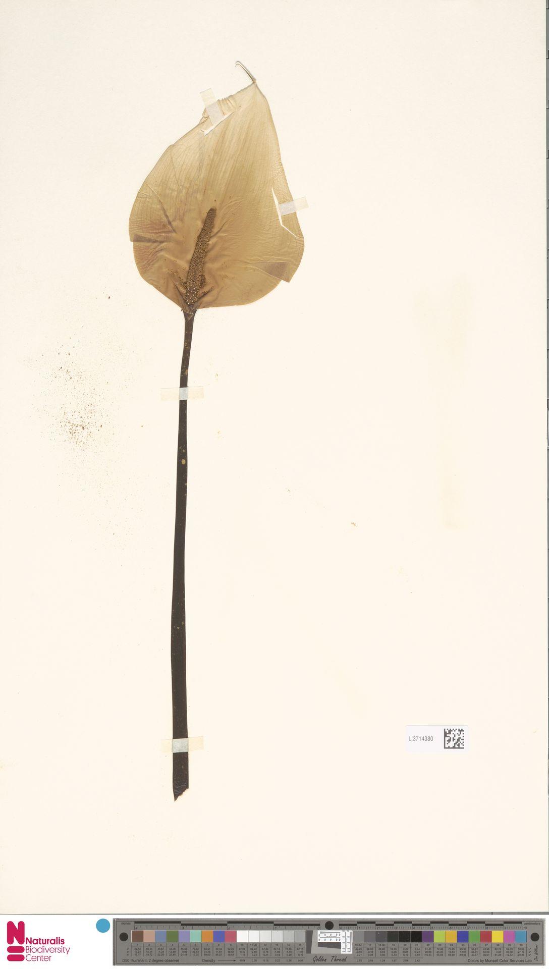 L.3714380 | Zantedeschia aethiopica (L.) Spreng.