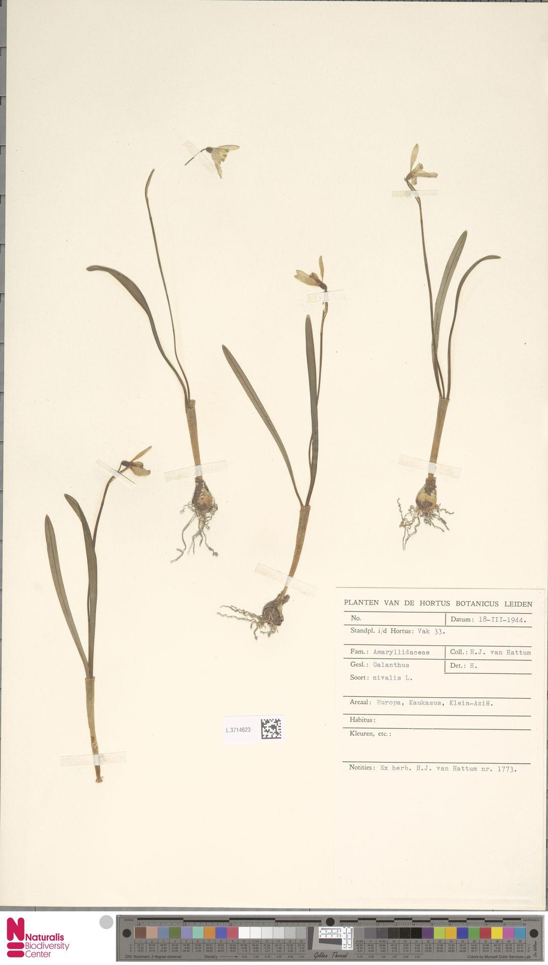 L.3714623 | Galanthus nivalis L.
