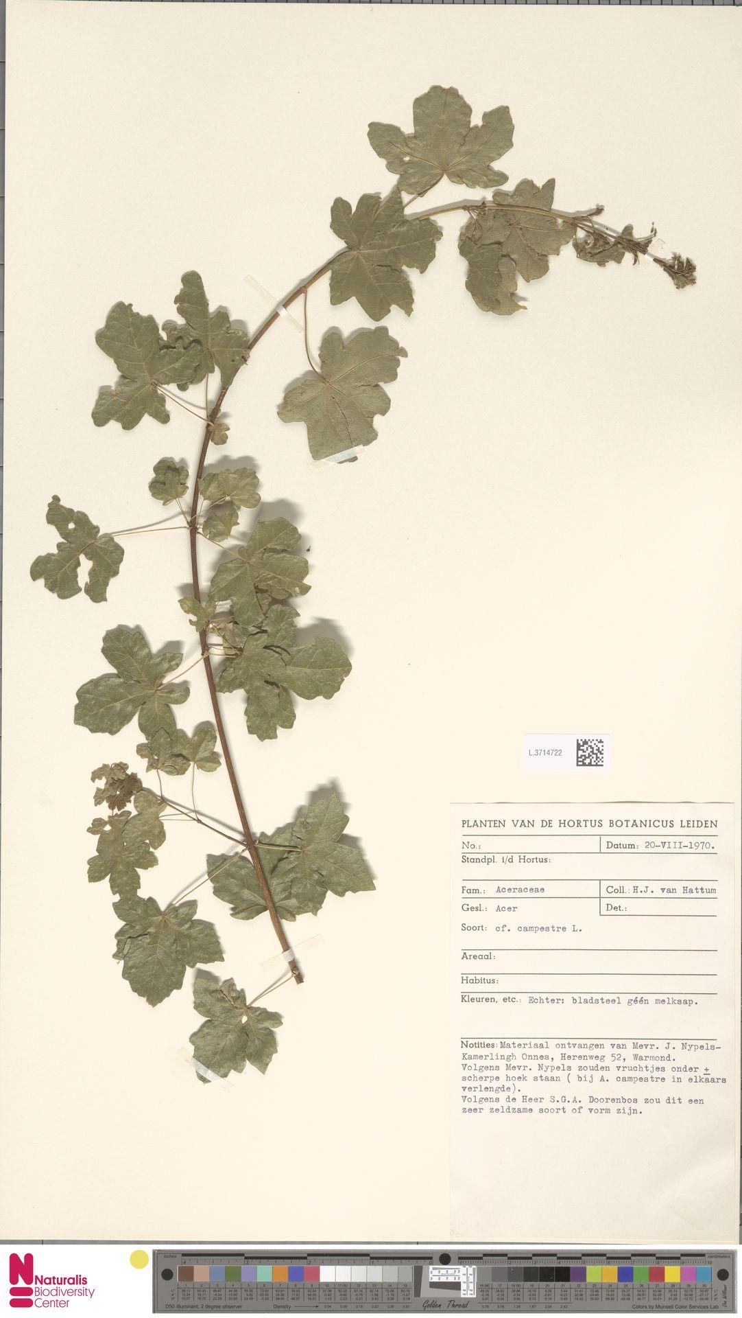 L.3714722   Acer campestre L.