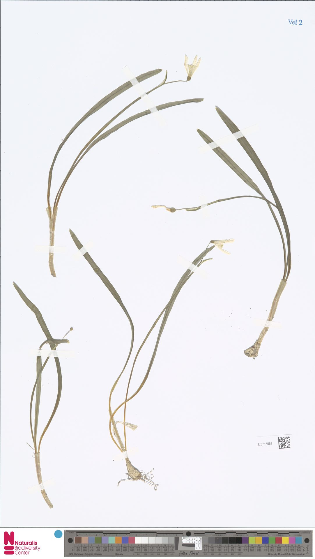 L.3715568 | Galanthus nivalis L.