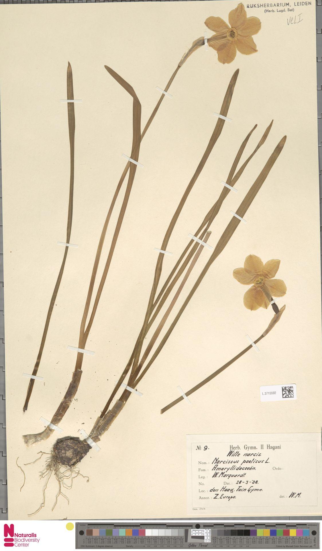 L.3715592 | Narcissus poeticus L.