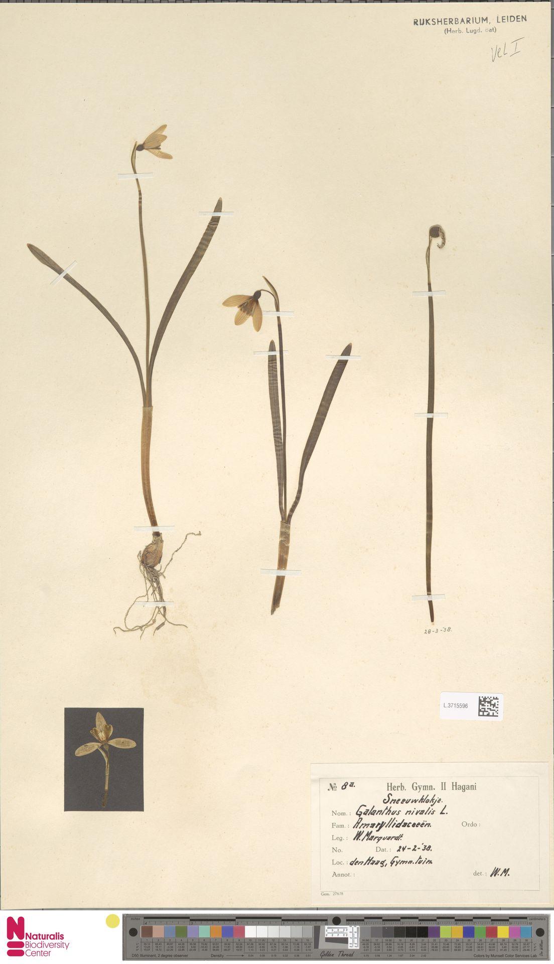 L.3715596 | Galanthus nivalis L.