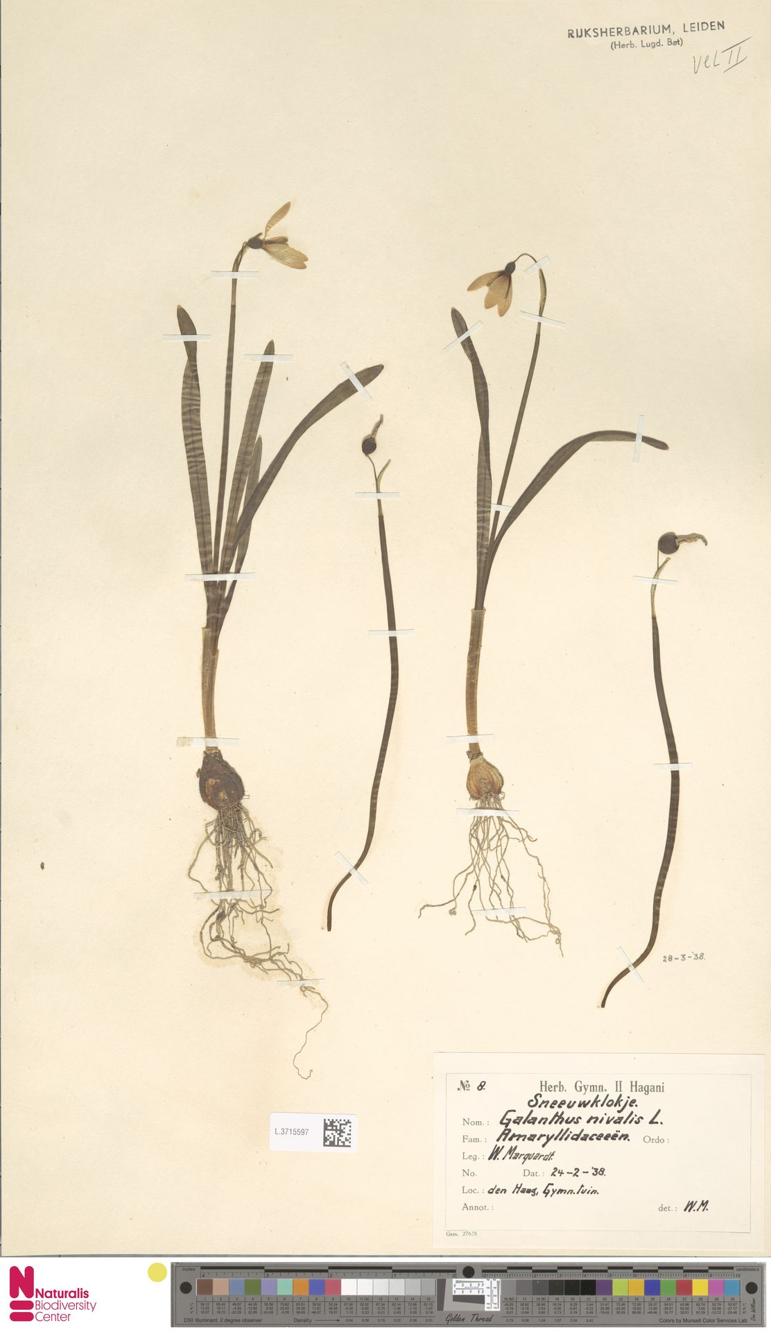 L.3715597 | Galanthus nivalis L.