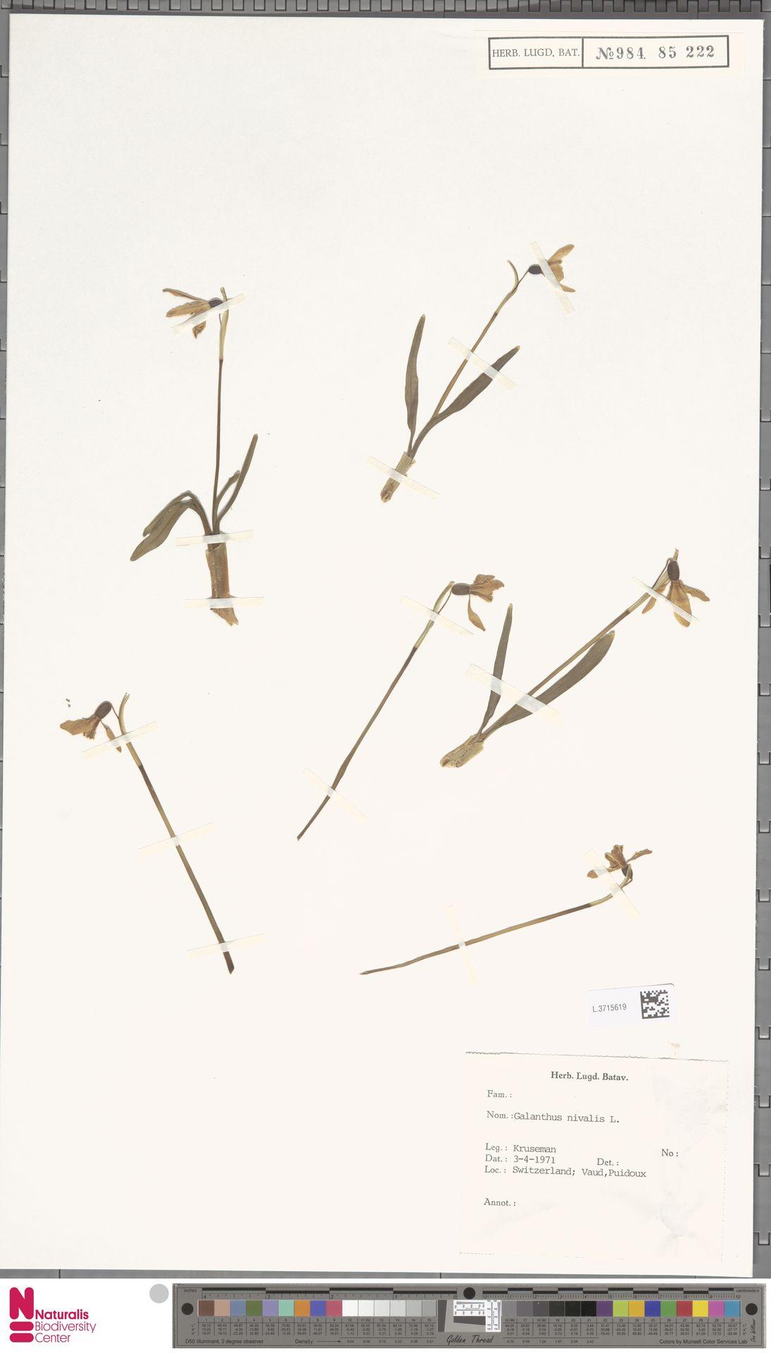 L.3715619   Galanthus nivalis L.