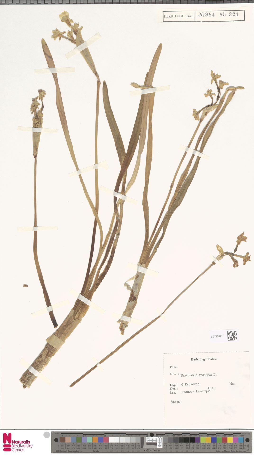 L.3715621 | Narcissus tazetta L.