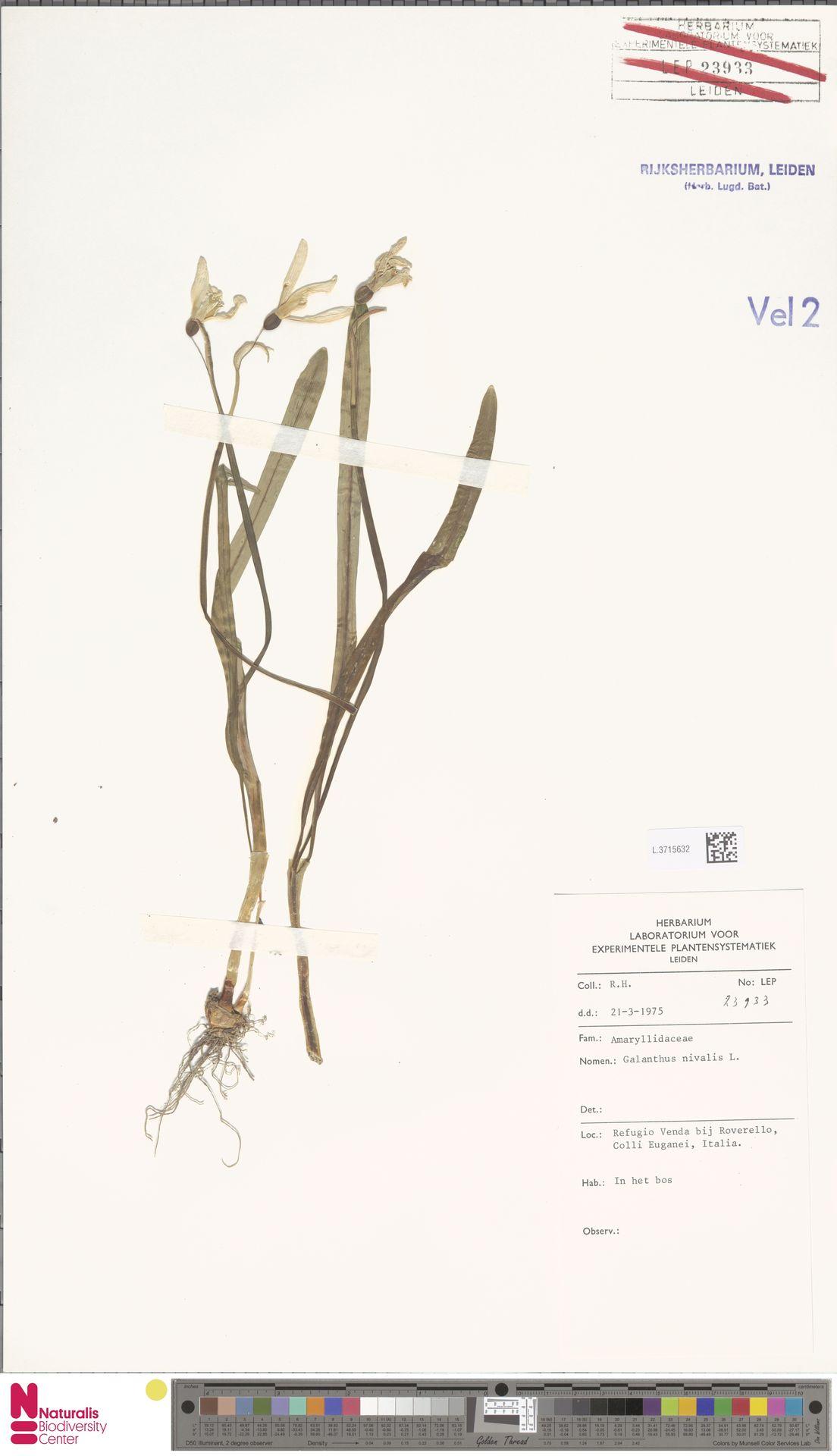 L.3715632 | Galanthus nivalis L.