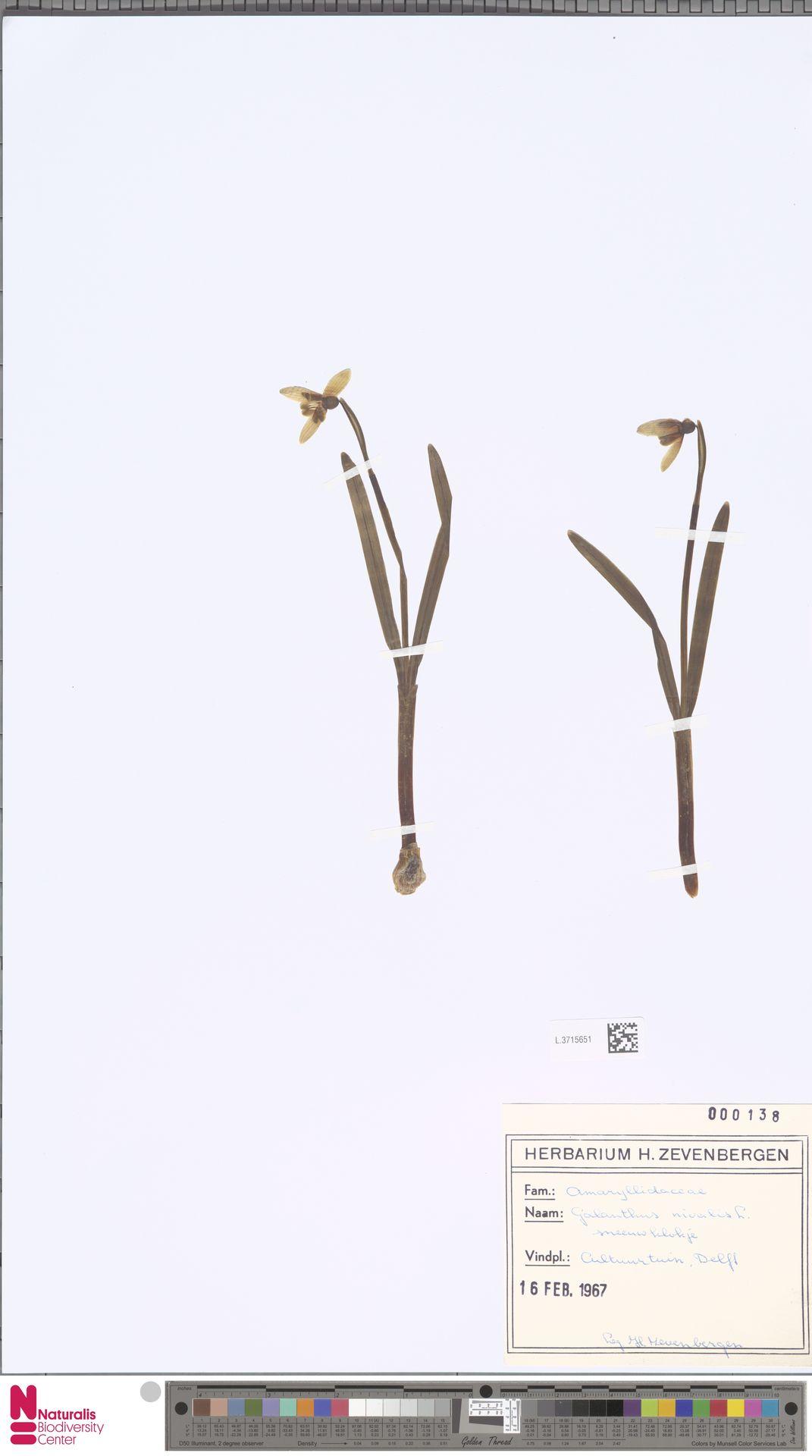L.3715651 | Galanthus nivalis L.