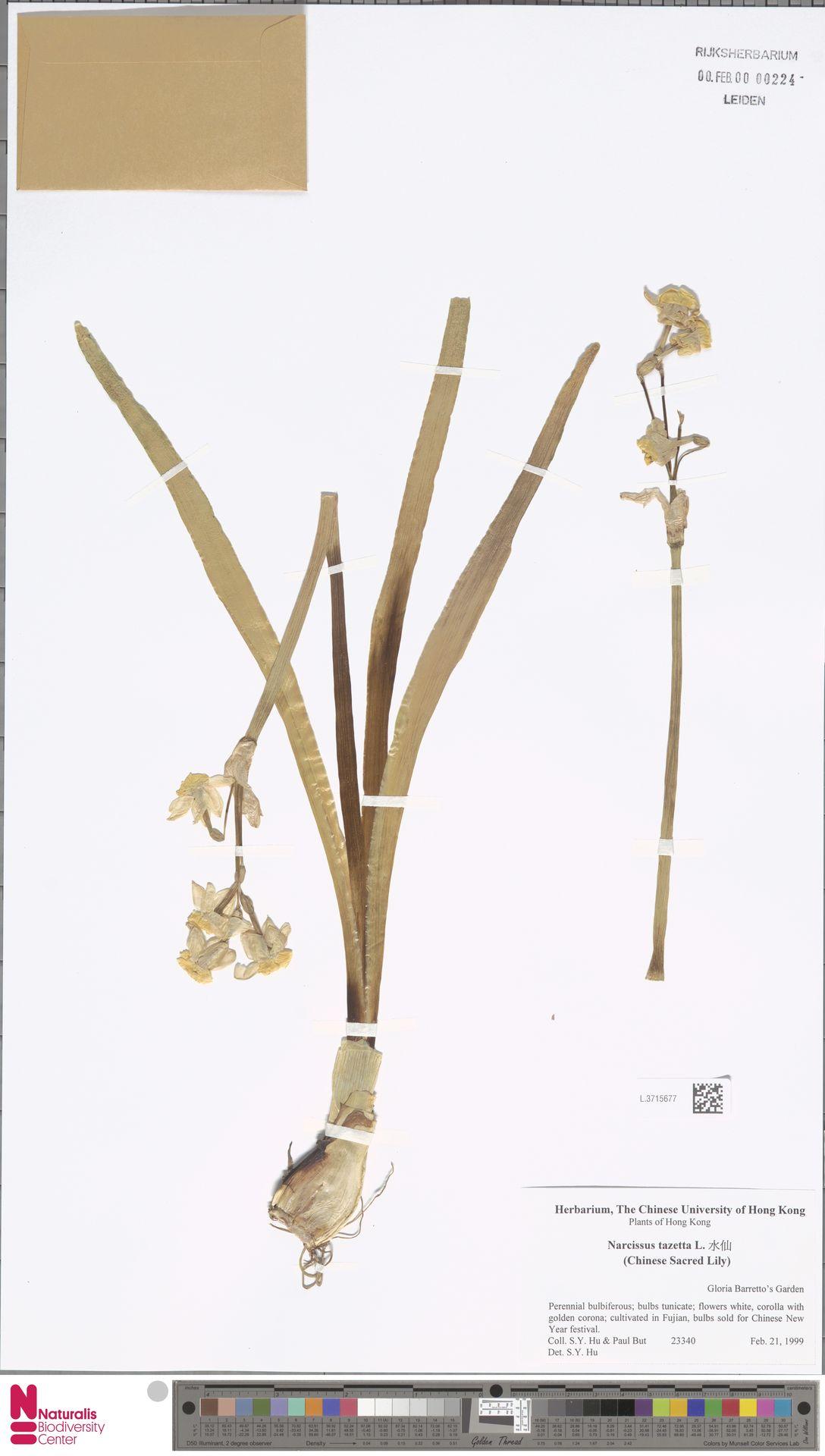 L.3715677 | Narcissus tazetta L.