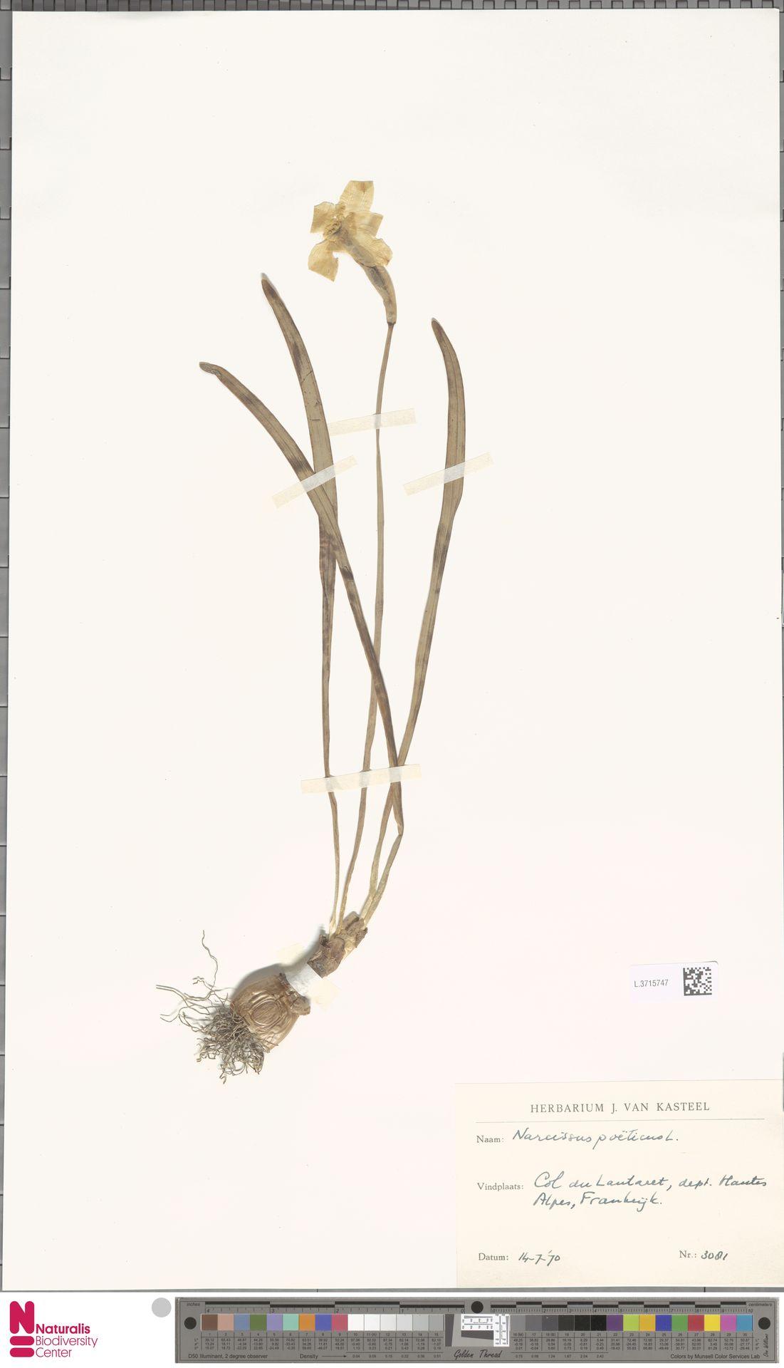 L.3715747 | Narcissus poeticus L.