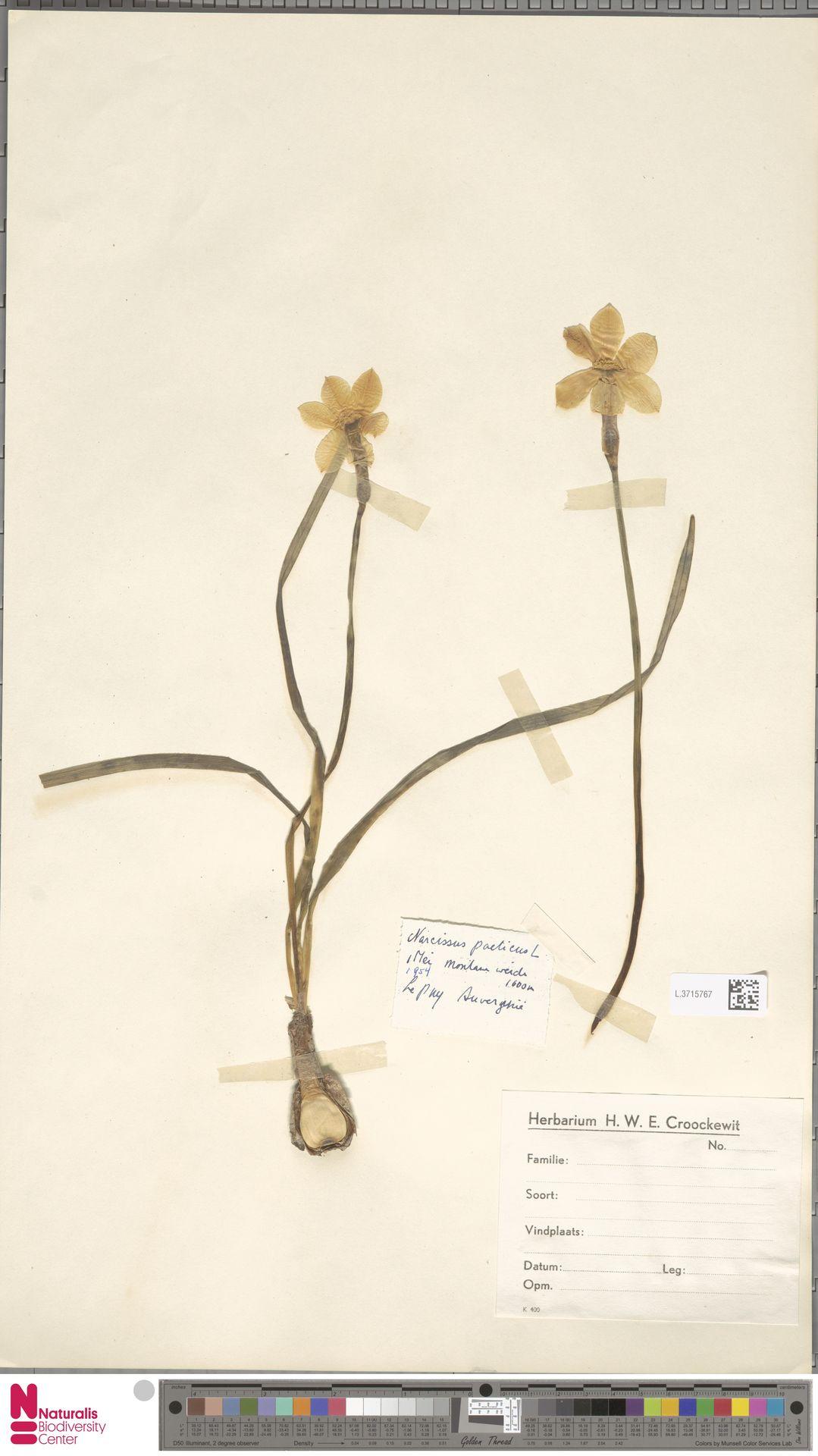 L.3715767 | Narcissus poeticus L.