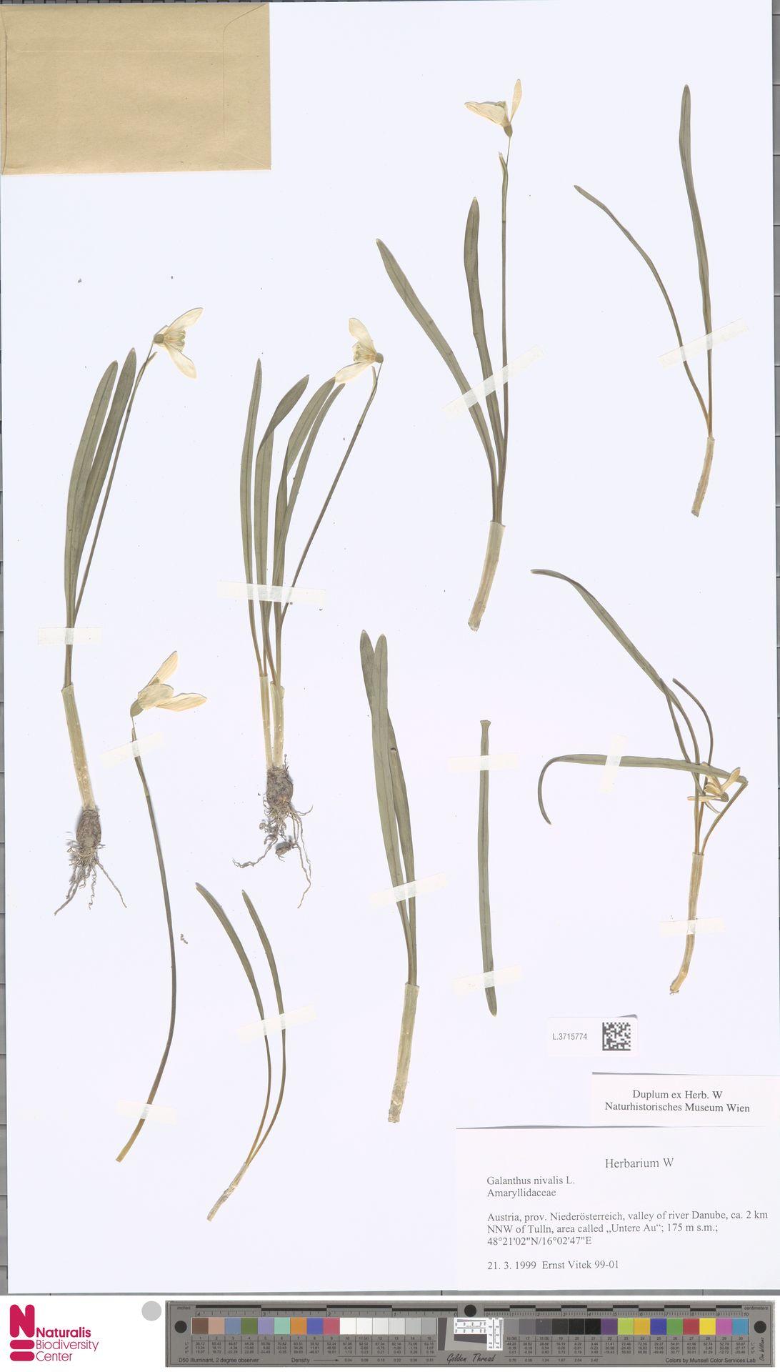L.3715774 | Galanthus nivalis L.