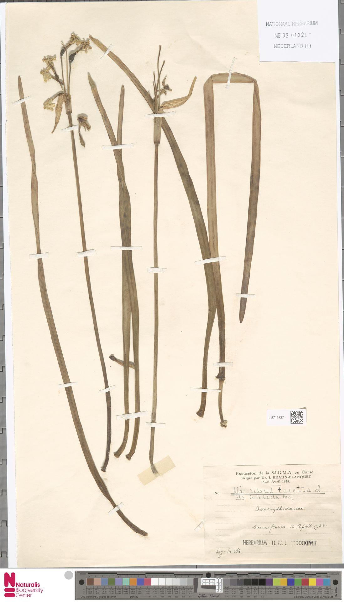 L.3715837 | Narcissus tazetta L.