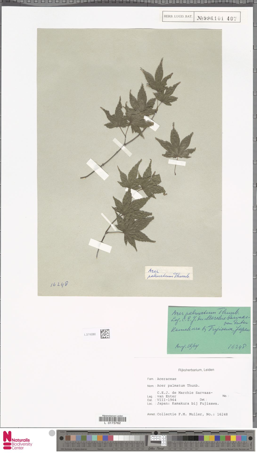 L.3716380 | Acer palmatum Thunb.