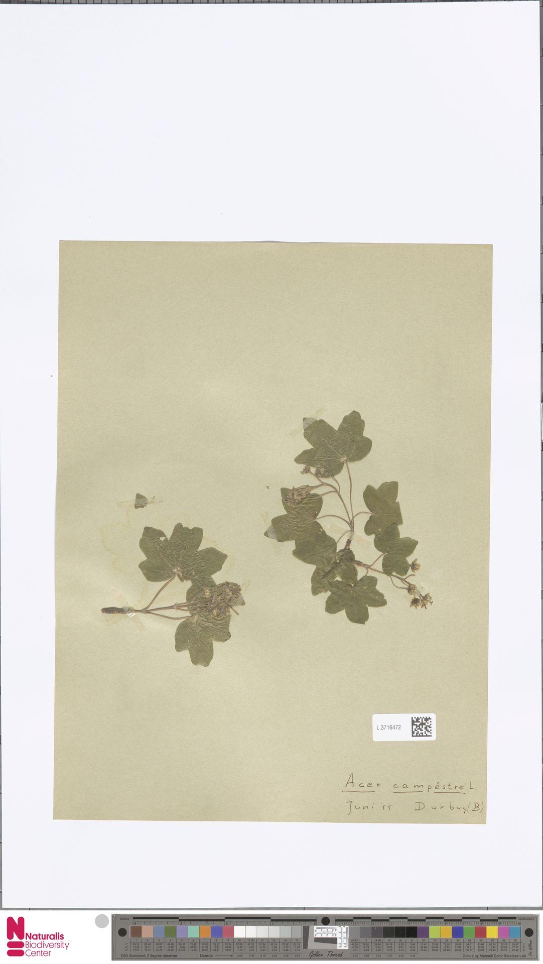 L.3716472 | Acer campestre L.