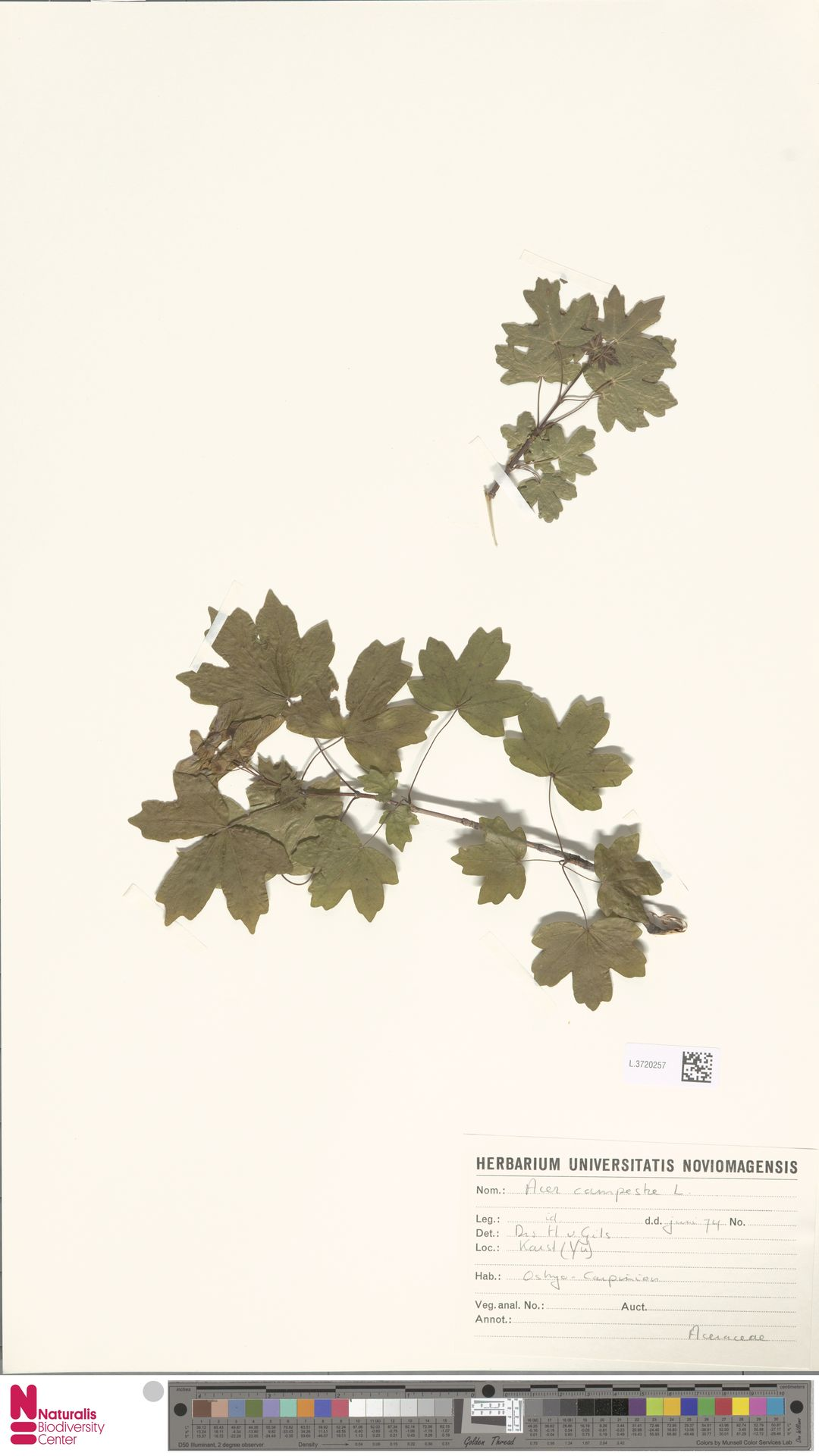 L.3720257 | Acer campestre L.