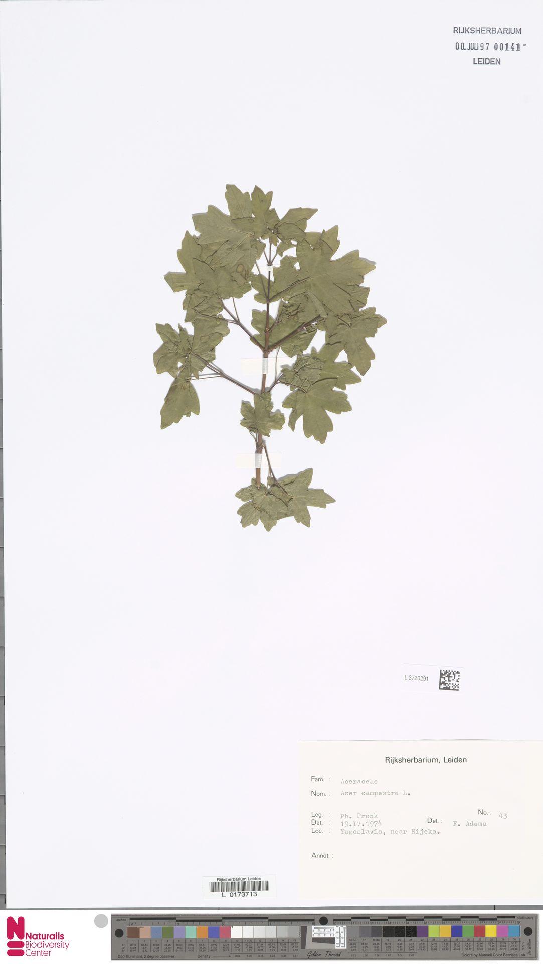 L.3720291   Acer campestre L.