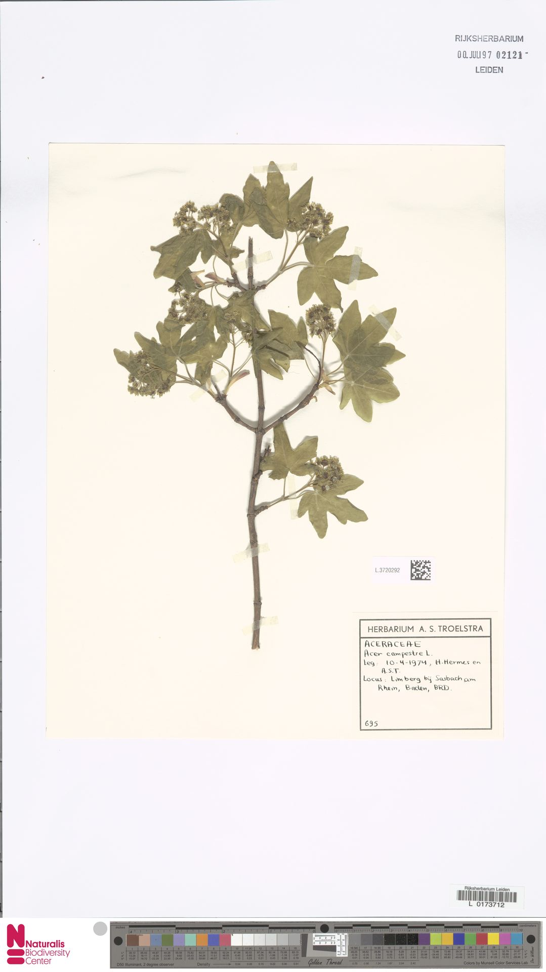 L.3720292 | Acer campestre L.