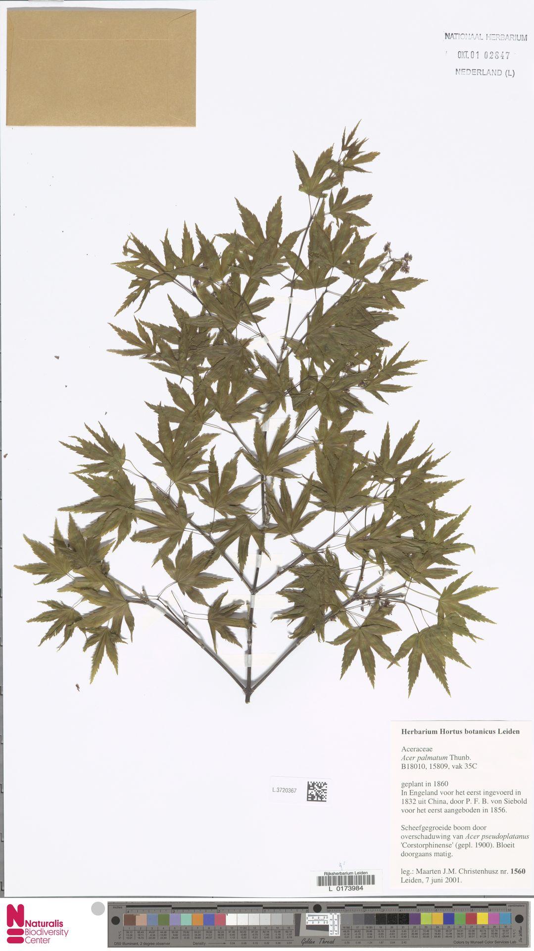 L.3720367 | Acer palmatum Thunb.