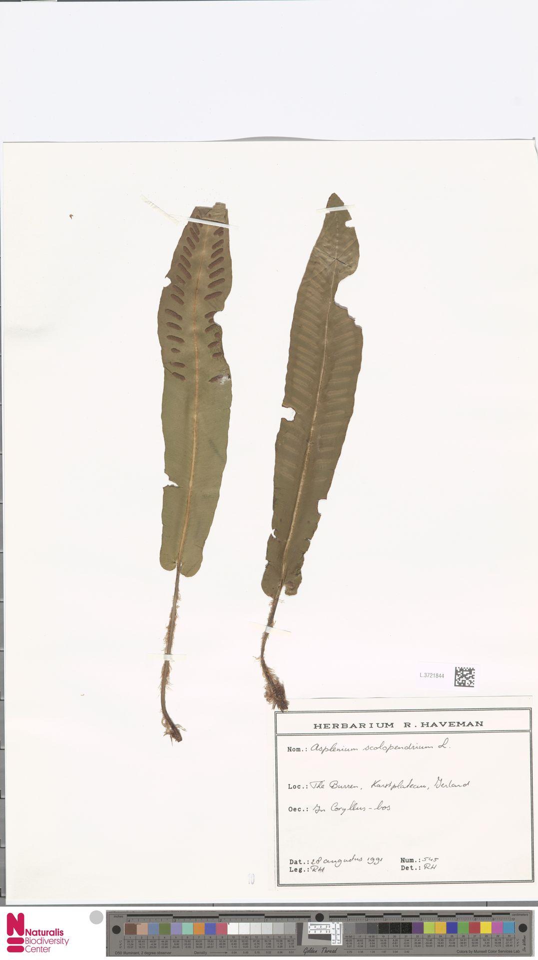 L.3721844 | Asplenium scolopendrium L.