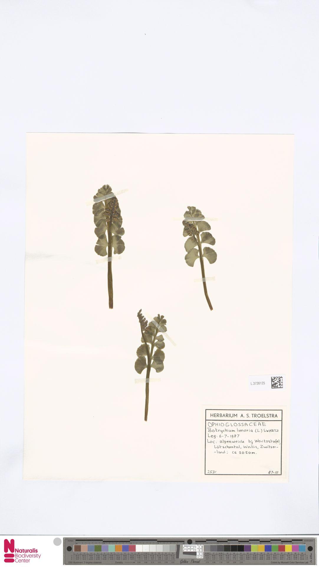L.3726125 | Botrychium lunaria (L.) Sw.