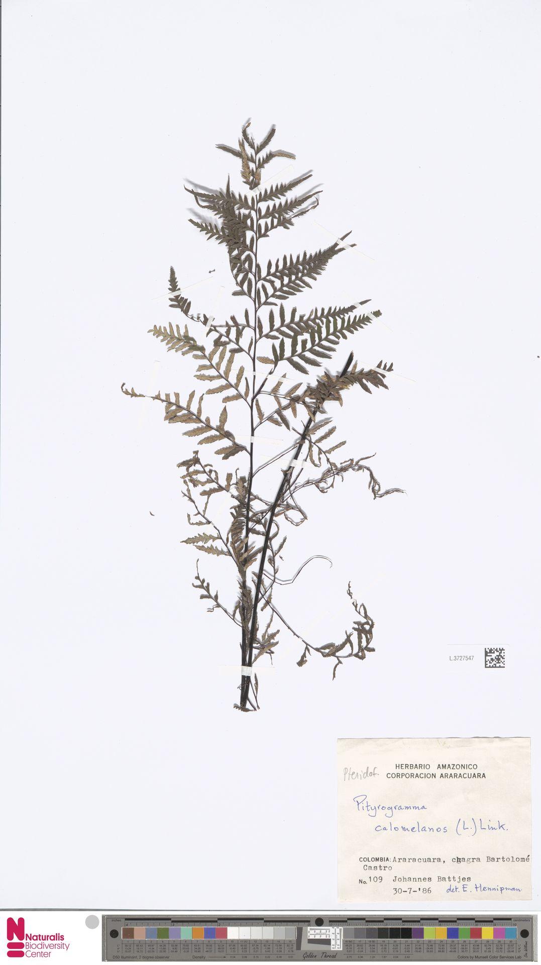 L.3727547 | Pityrogramma calomelanos (L.) Link