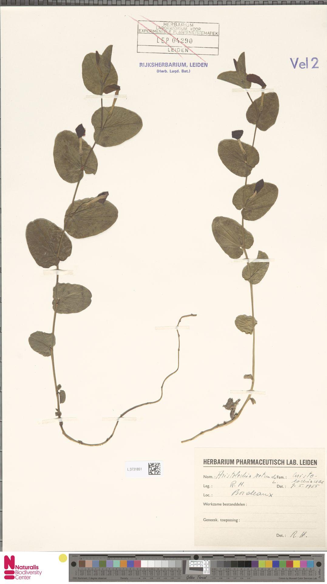 L.3731851 | Aristolochia rotunda L.