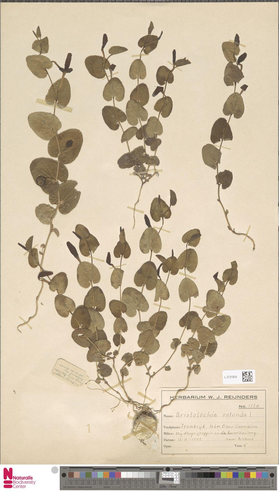L.3731854 | Aristolochia rotunda L.
