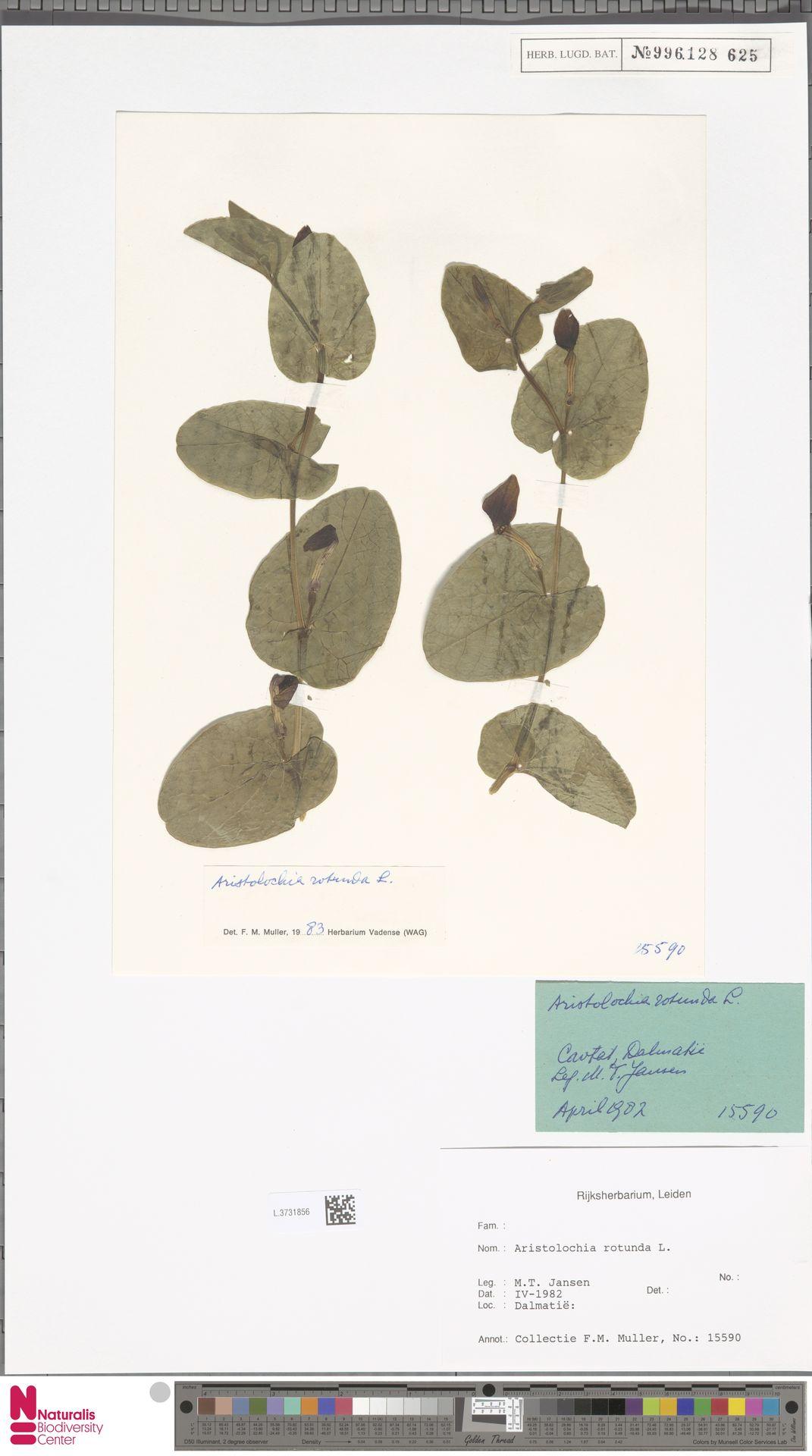L.3731856 | Aristolochia rotunda L.