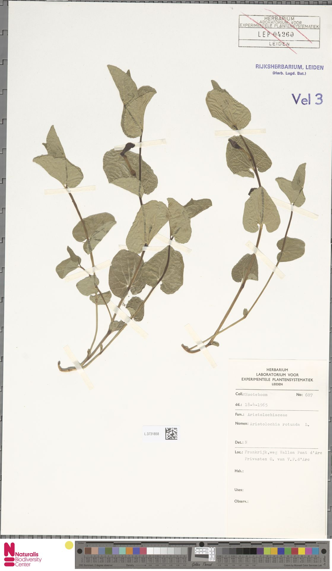 L.3731858 | Aristolochia rotunda L.