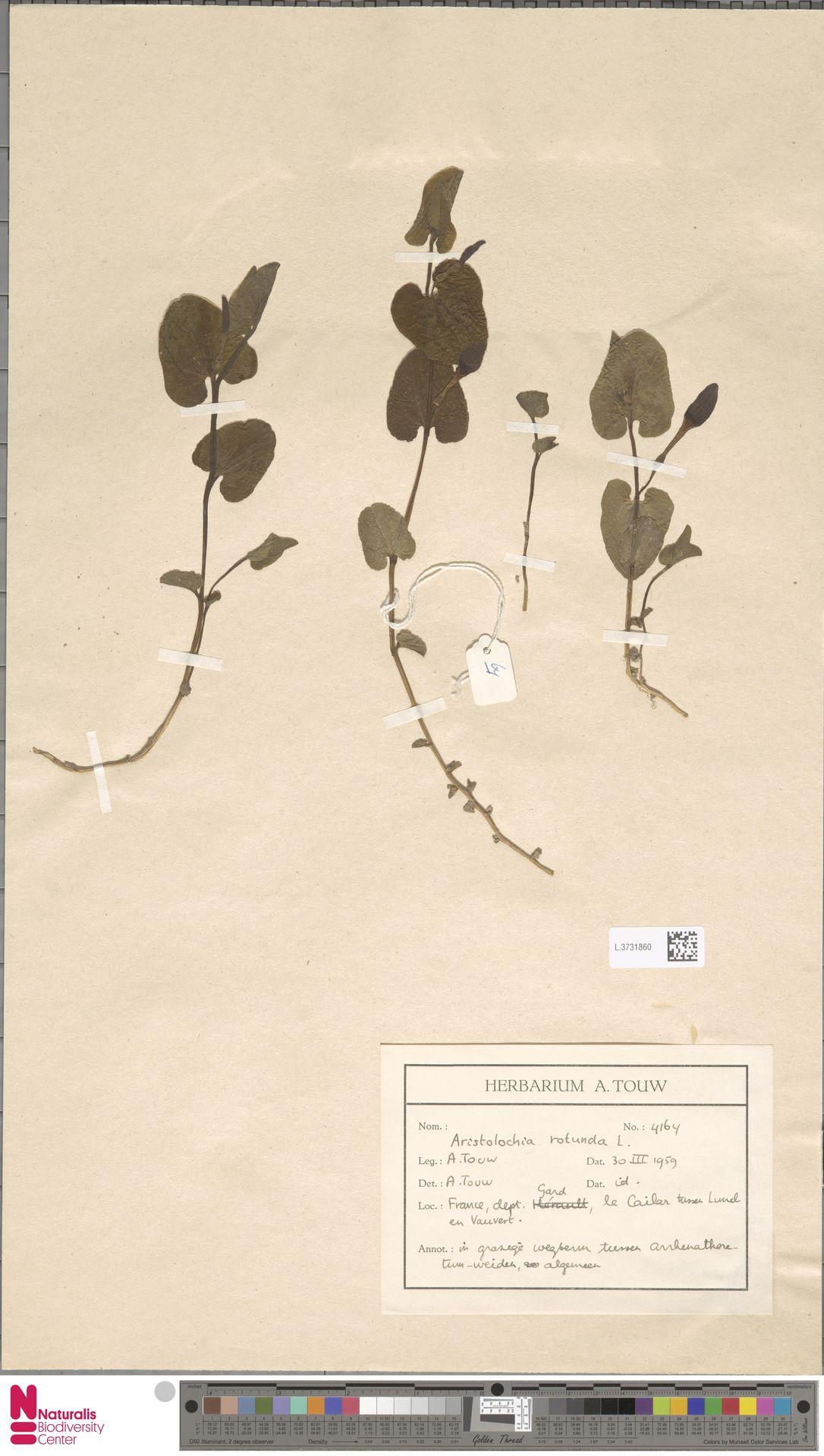 L.3731860 | Aristolochia rotunda L.