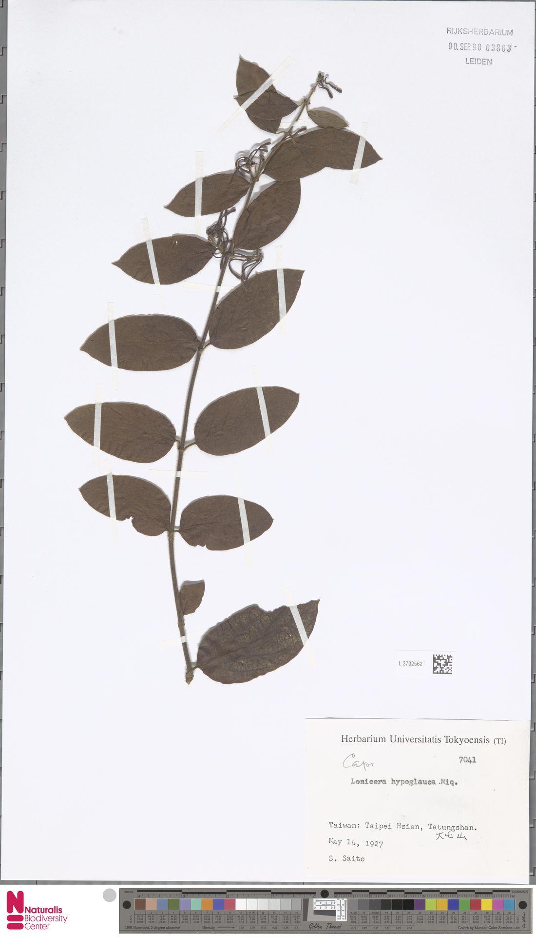 L.3732562 | Lonicera hypoglauca Miq.