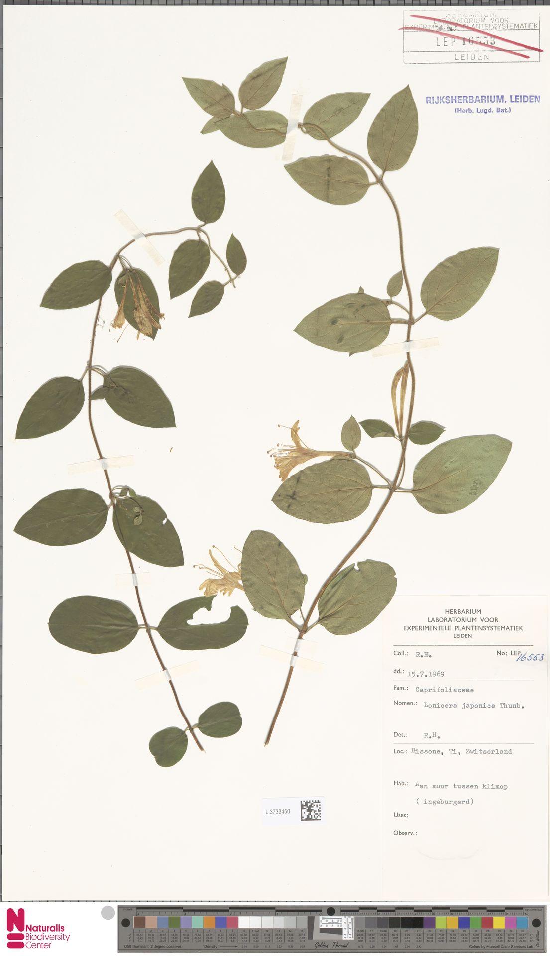L.3733450   Lonicera japonica Thunb.