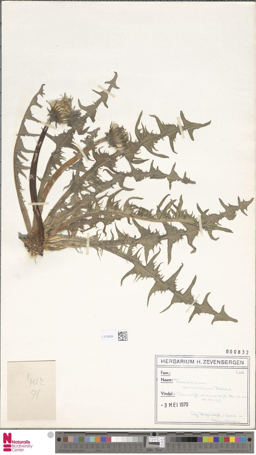 L.3733830 | Taraxacum pannucium Dahlst.