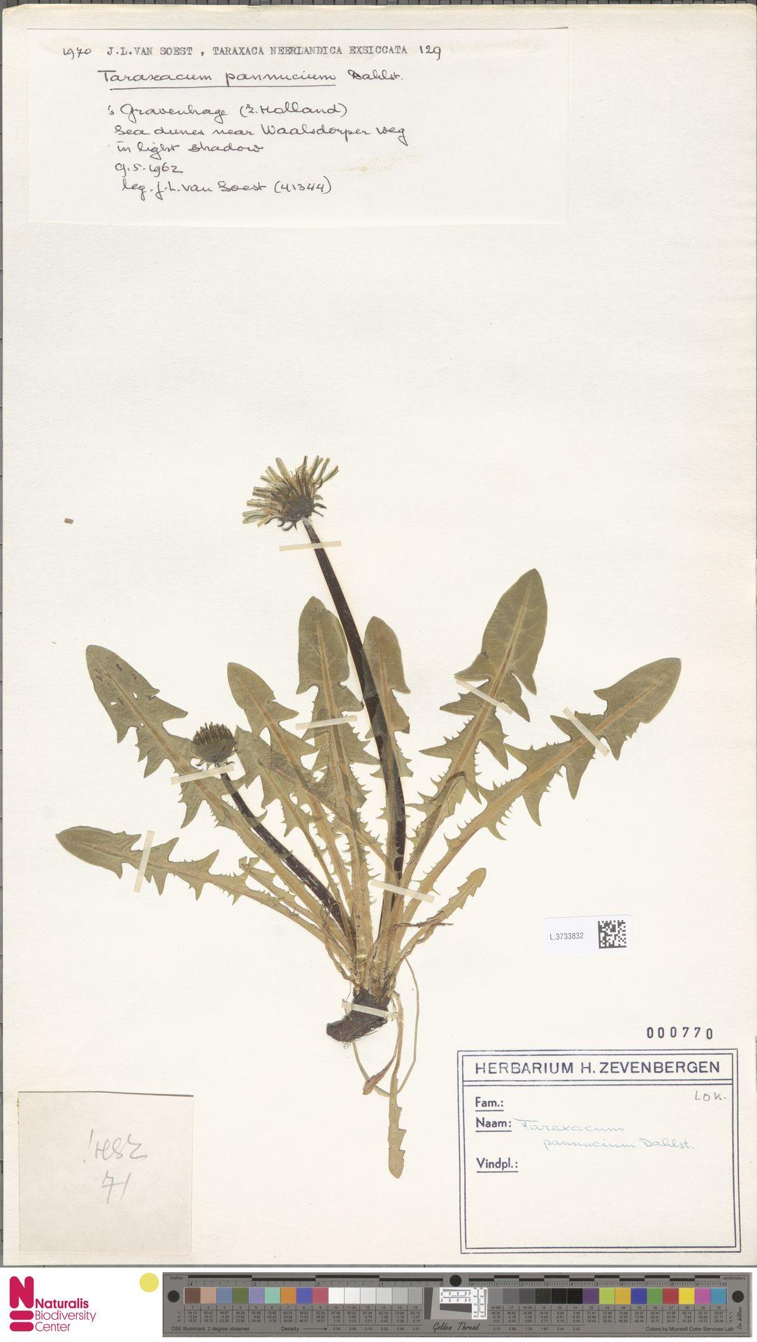 L.3733832 | Taraxacum pannucium Dahlst.