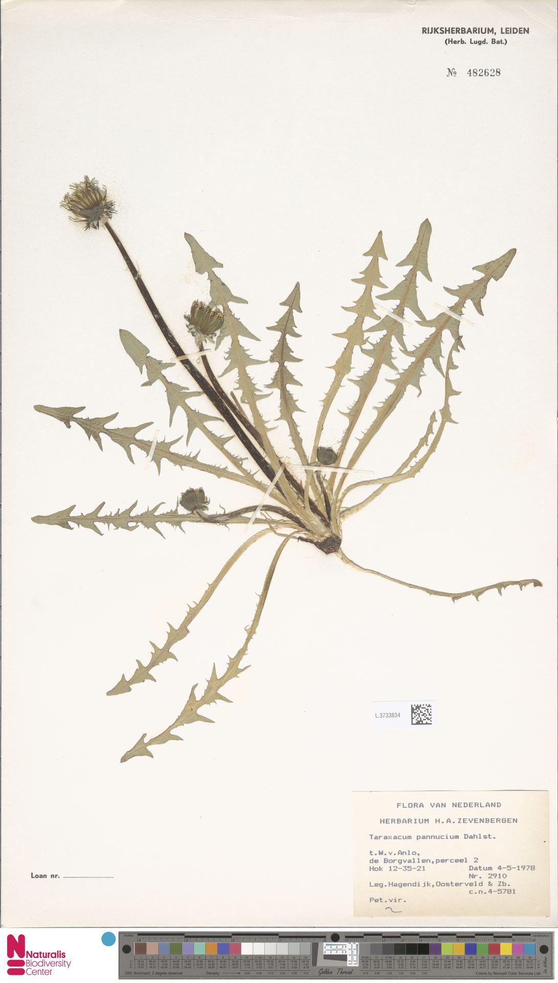 L.3733834   Taraxacum pannucium Dahlst.