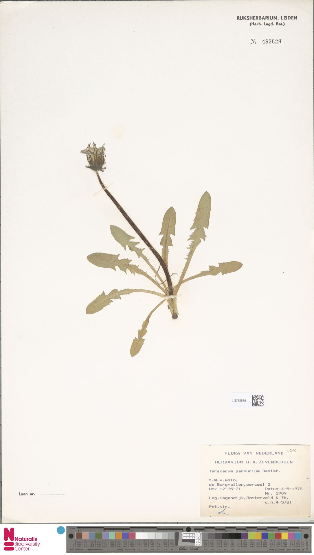 L.3733835 | Taraxacum pannucium Dahlst.