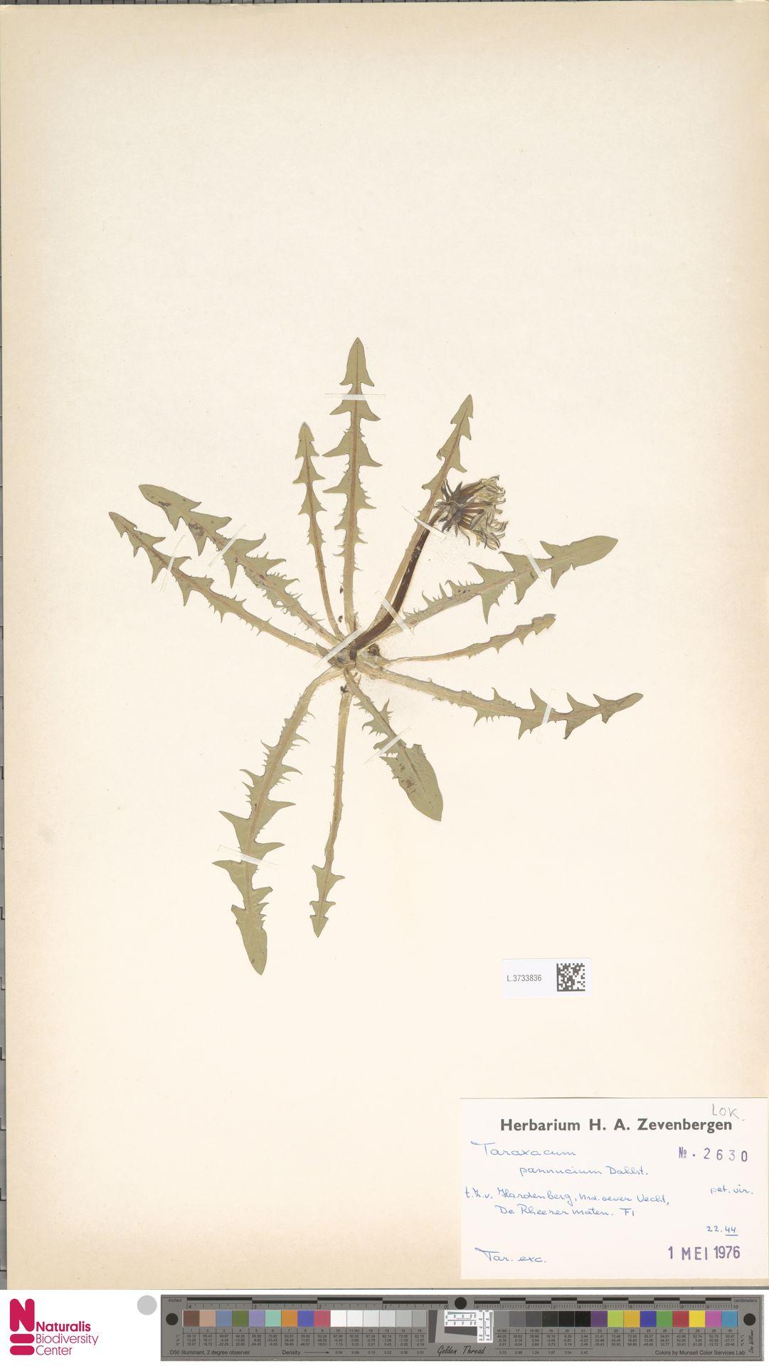 L.3733836   Taraxacum pannucium Dahlst.