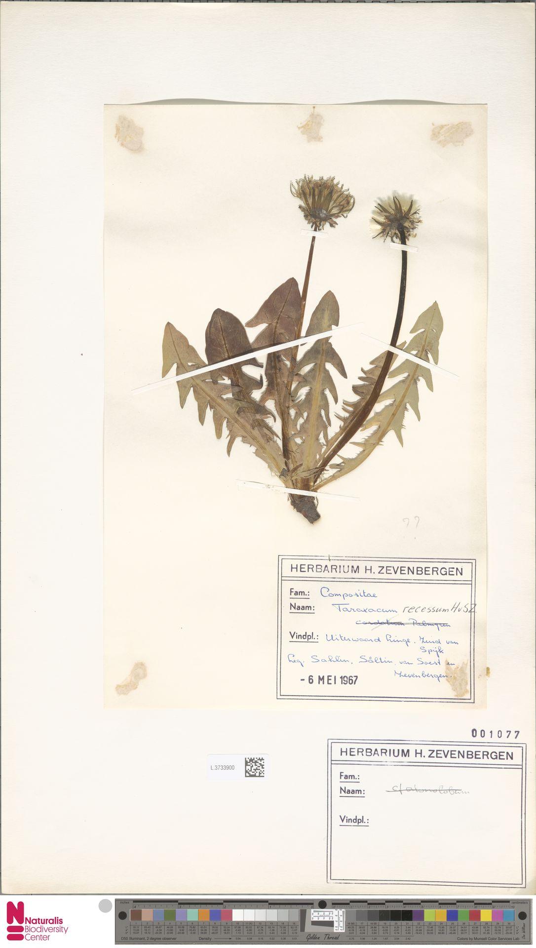L.3733900 | Taraxacum recessum Hagend., Soest & Zevenb.