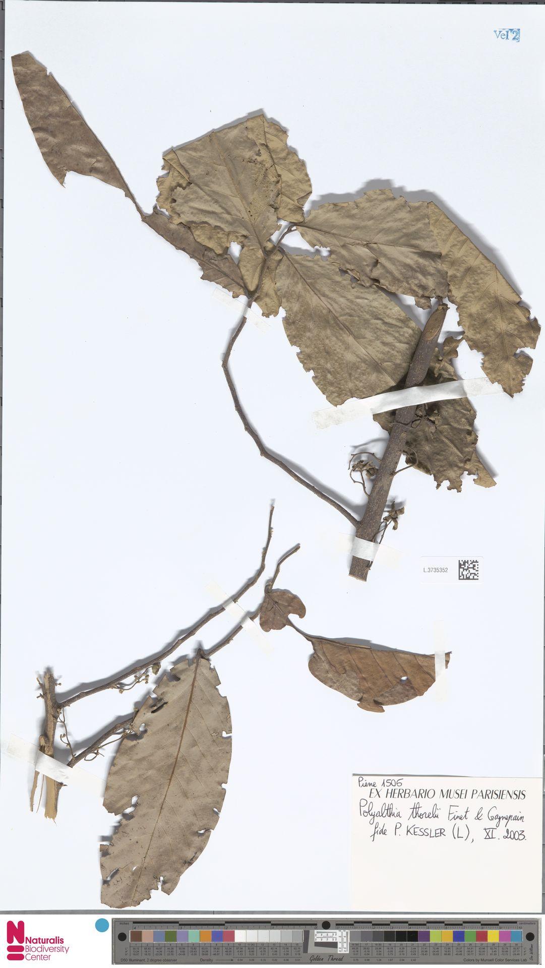 L.3735352 | Polyalthia Blume