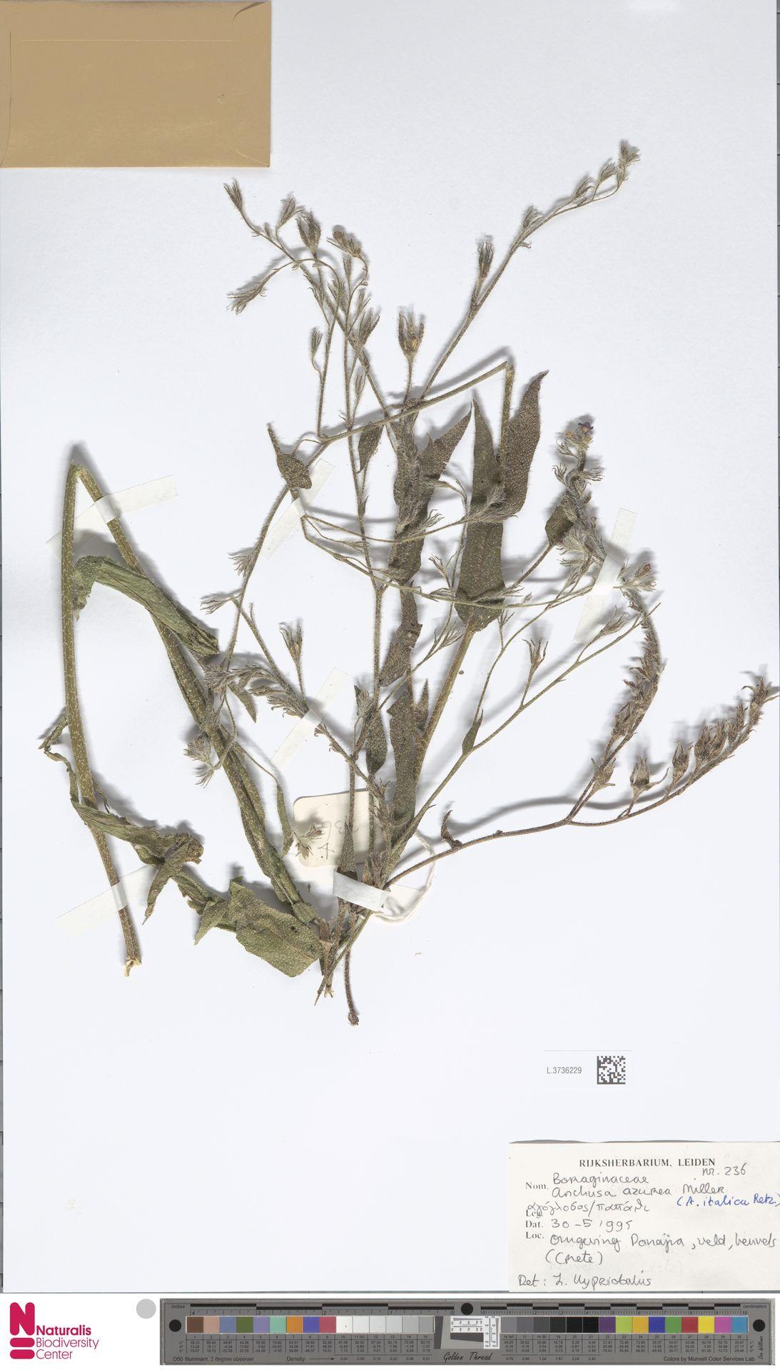 L.3736229 | Anchusa azurea Mill.