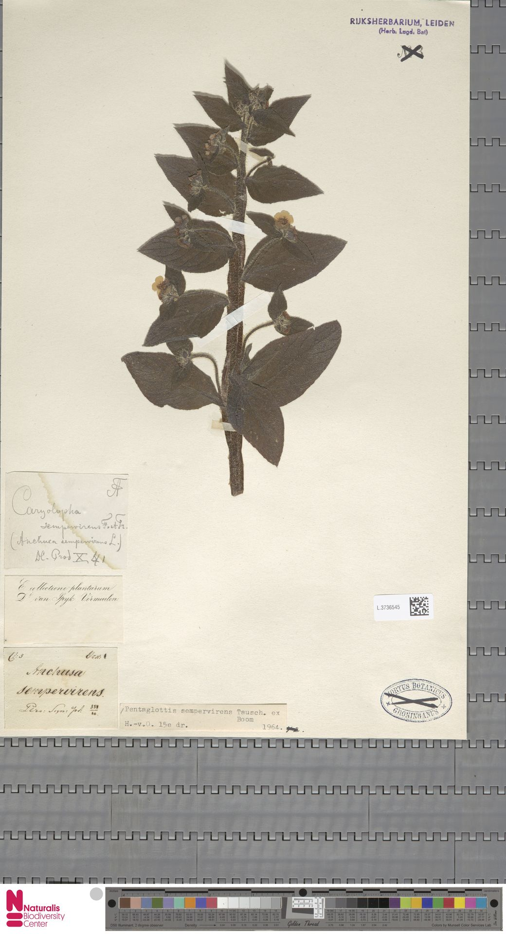 L.3736545 | Pentaglottis sempervirens (L.) L.H.Bailey