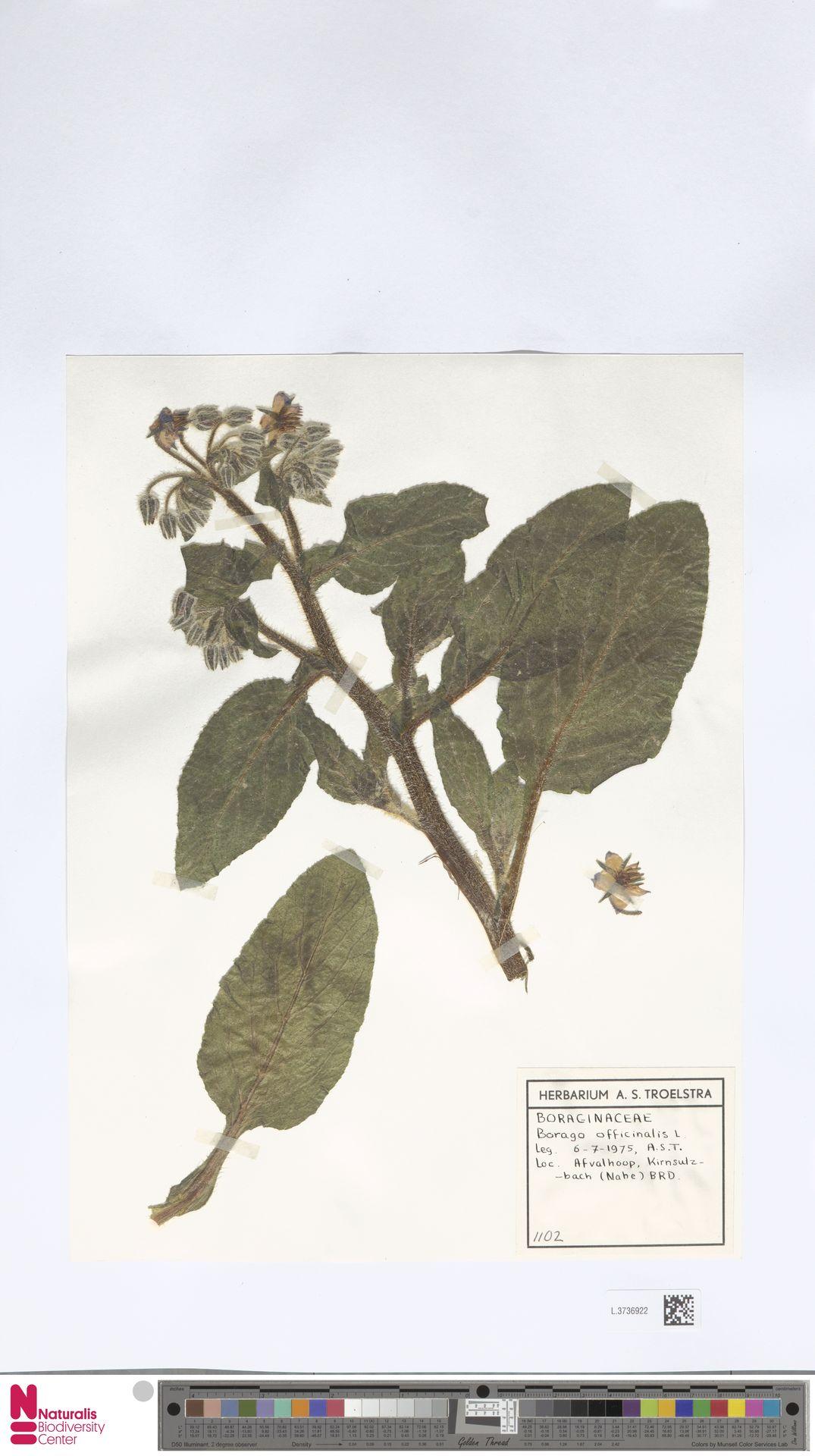 L.3736922 | Borago officinalis L.