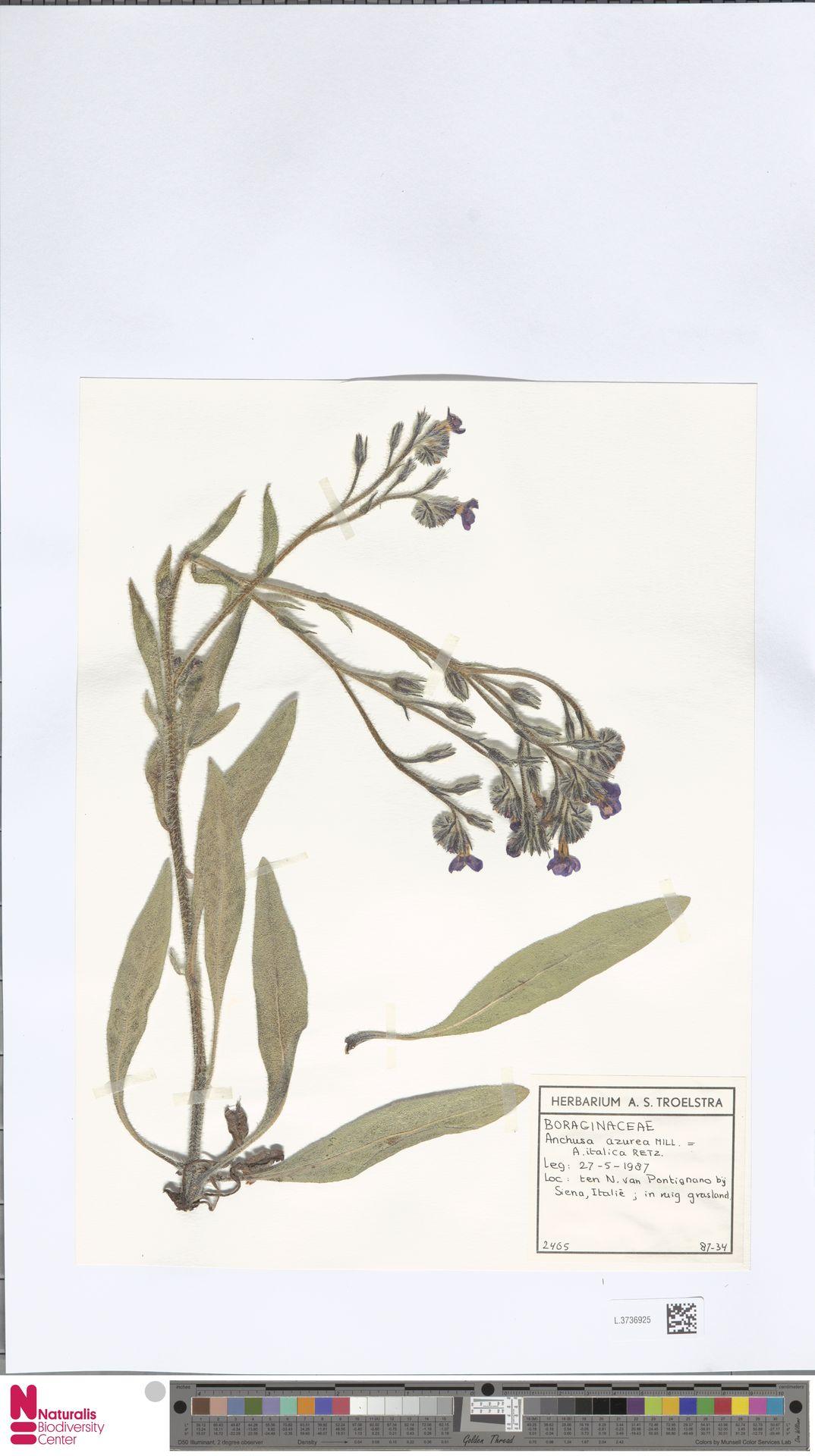 L.3736925 | Anchusa azurea Mill.