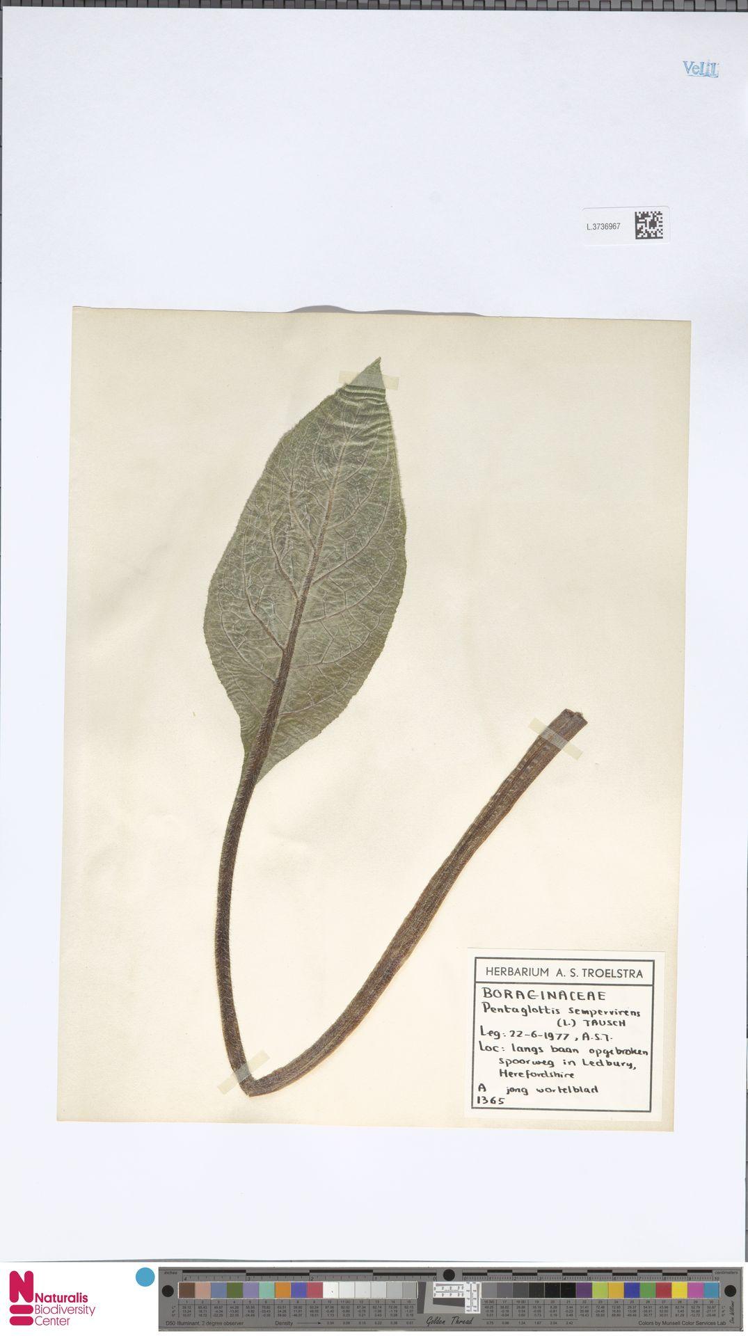 L.3736967   Pentaglottis sempervirens (L.) L.H.Bailey